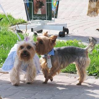 На фото: два йоркширских терьера на прогулке, светлая девочка - в платье, более темный мальчик - в галстуке, мальчик оказывает внимание девочке