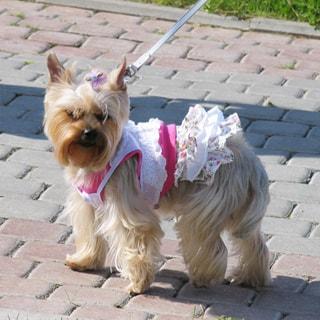 На фото: йоркширский терьер на прогулке, блондинка, с бантиком, в платье, в позе как я вам