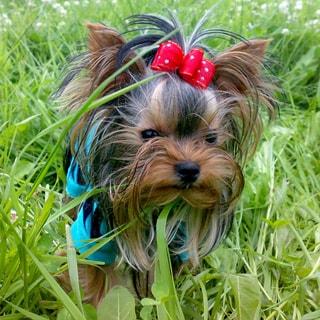 На фото: йоркширский терьер черного цвета с рыжеватой мордочкой стоит в траве с него ростом, с бантиком, выразительные глазки смотрят на вас, ушки подняты