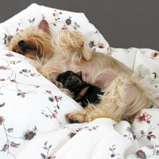 На фото: йорширский терьер, спящий на боку на перине, блондинка, вплотную к ней спина к животу спит щенок йоркширского терьера черного цвета