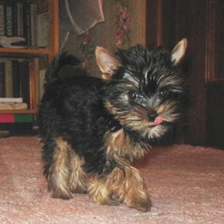 На фото: йоркширский терьер черного цвета шагает по дивану, выразительные глазки смотрят на вас, ушки подняты, показывает язычок