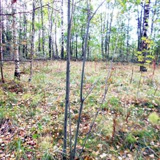 На фото: земельный участок, поляна, справа и слева - редколесье, лиственные деревья, ровный, без уклона, пустой, без построек, не разработан