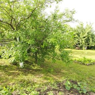 На фото: часть земельного участка, участок с небольшим уклоном, разработан, на участке - газон, плодовые кусты и деревья, грядки