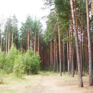 На фото: опушка леса или лесопарка, сосны, кустарник, пешеходная тропинка