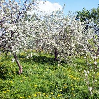 Жилой бревенчатый дом 65 кв.м на 25 сотках ЛПХ в деревне Сабо (Толмачево, Лужский) продается. Сад