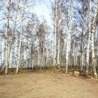 На фото: земельный участок, редколесье и свободное пространство, деревья - березы, низкорослая трава и песок, участок свободен, без построек, не огорожен, никак не обозначен, без дорожек, тропинок и дургих элементов благоустройства