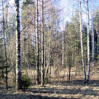 На фото: часть земельного участка, лиственное и хвойное мелколесье, березы, ели, с небольшим уклоном, свободный, без построек, не огорожен
