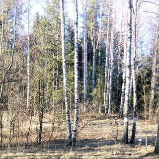На фото: часть земельного участка, лиственное и хвойное мелколесье, березы, ели, кустарник, относительно ровный, свободный, без построек, не огорожен