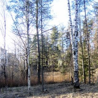 На фото: часть земельного участка, лиственное и хвойное мелколесье, березы, ели, с небольшим уклоном справа-налево, свободный, без построек, не огорожен, слева на дальнем плане коттеджная застройка