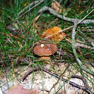 На фото: крупным планом белый гриб в лесной траве